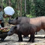 All of the rhinos at the Sumatran Rhino Sanctuary in Indonesia received special treats on World Rhino Day 2012. Photo courtesy of International Rhino Foundation.