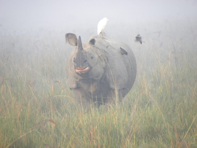Greater one-horned rhino in Pobitora Wildlife Sanctuary. Photo © Deba Kr. Dutta