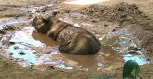 Submit your muddiest pics or videos on Facebook, Twitter or Instagram with #MuddyForRhinos.  Photo via Cincinnati Zoo website.