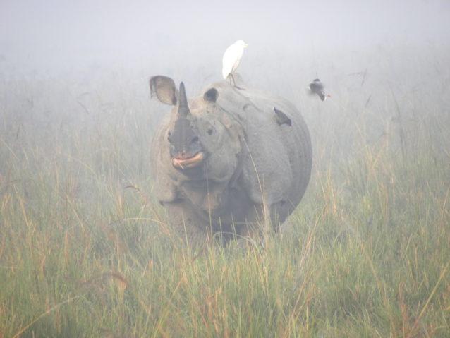 Greater one-horned rhino in Pobitora Wildlife Sanctuary. Photo © Deba Kr. Dutta